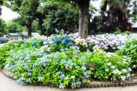 性海寺歴史公園紫陽花祭り5