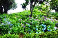 性海寺歴史公園紫陽花祭り3