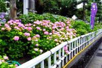性海寺歴史公園紫陽花祭り8