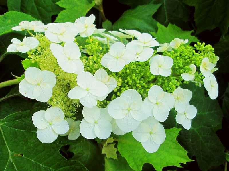 カシワバアジサイ(一重咲き)