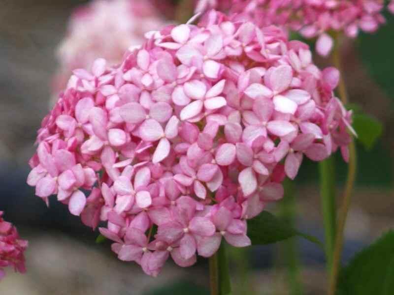ピンクのアナベル