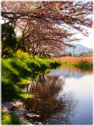 長狭川桜並木2