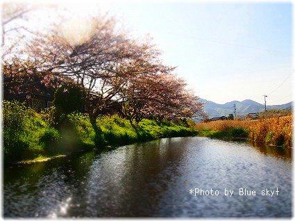 長狭川桜並木1