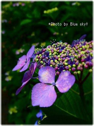 紫陽花2013