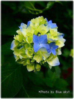 紫陽花まり