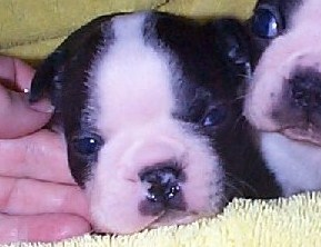 Lolas male puppies