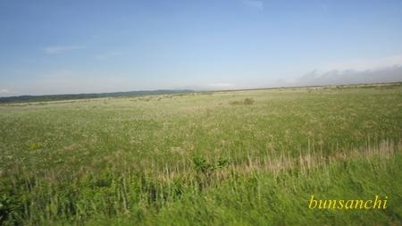 湿原のワタスゲ