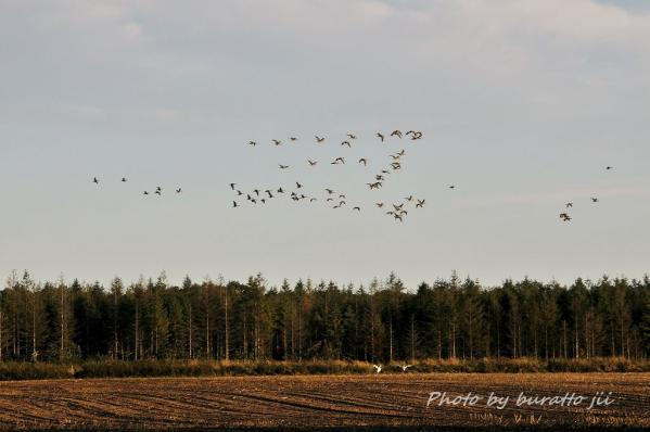 7HKD_タンチョウと鳥の群れ