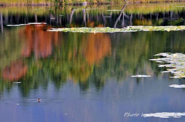 29HKD_1湖のカモ5
