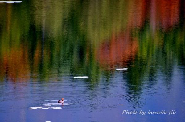30HKD_1湖のカモ6