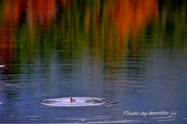27HKD_1湖のカモ3