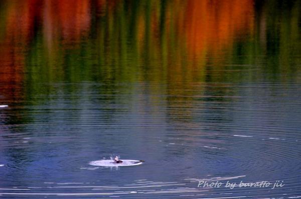 26HKD_1湖のカモ2