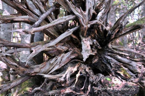 2HKD_大木の根