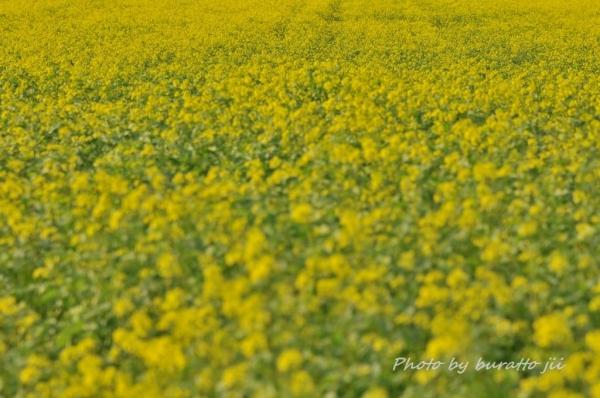 2HKD_オンネトー湖への道中キガラシの花