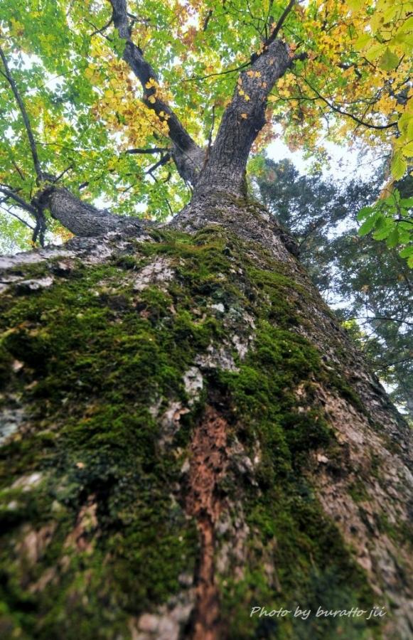 9HKD_上士幌町ミズナラの巨木_周囲490cm胸高直径156cm