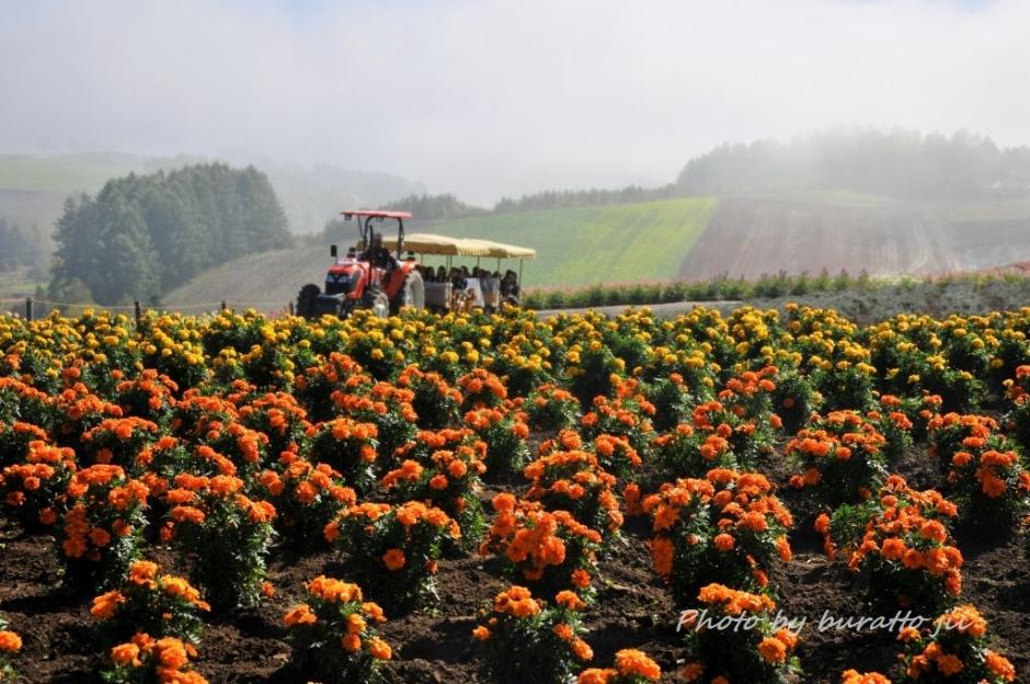 8HKD_アルパカ牧場の花畑