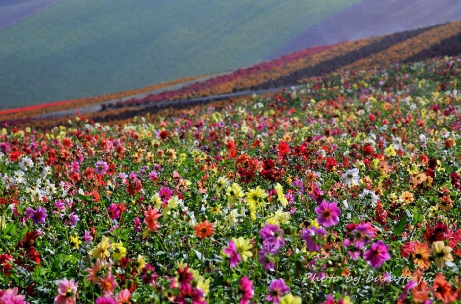 7HKD_アルパカ牧場の花畑