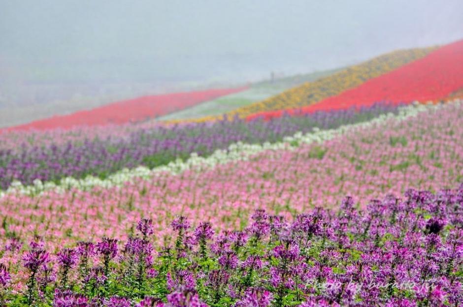 6HKD_アルパカ牧場の花畑
