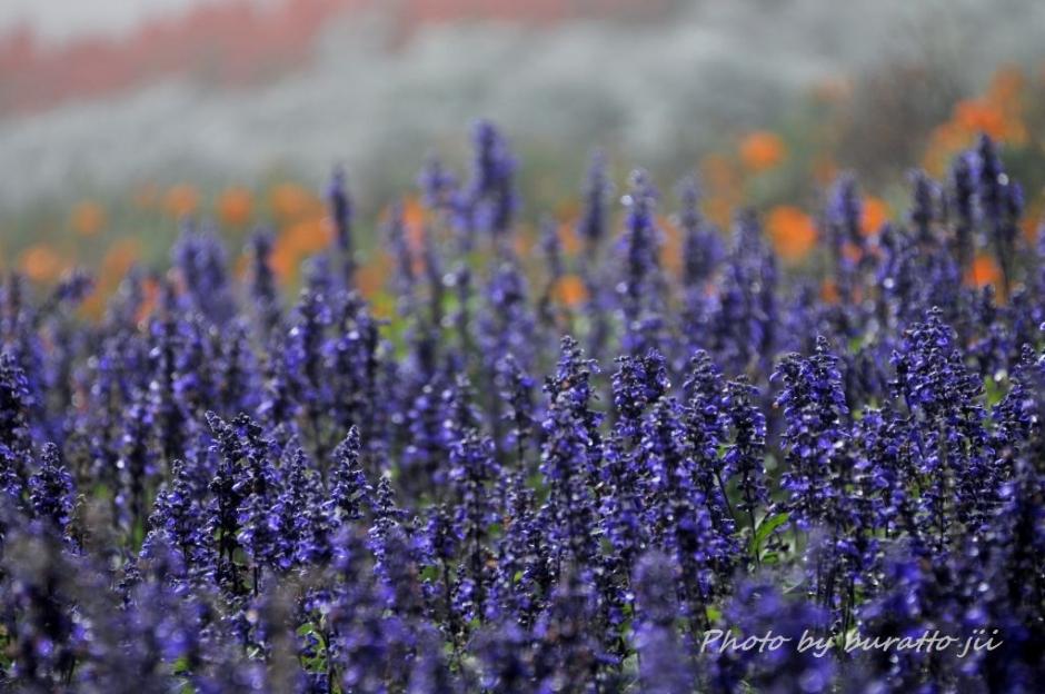5HKD_アルパカ牧場の花畑