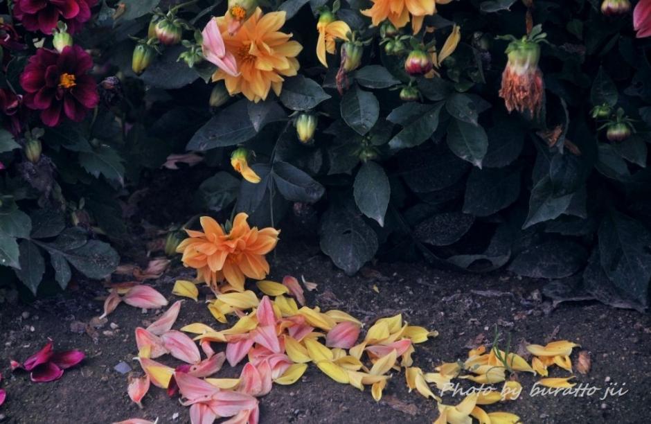 4HKD_アルパカ牧場の花畑