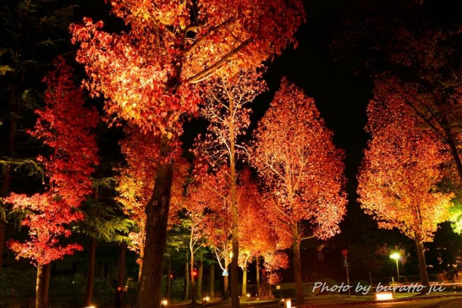 2広阪アメリカ楓並木20131109