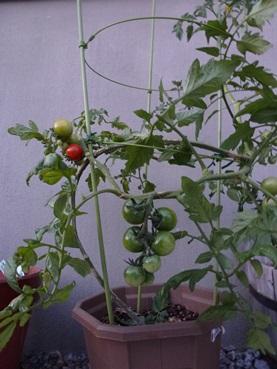 tomato130519.jpg