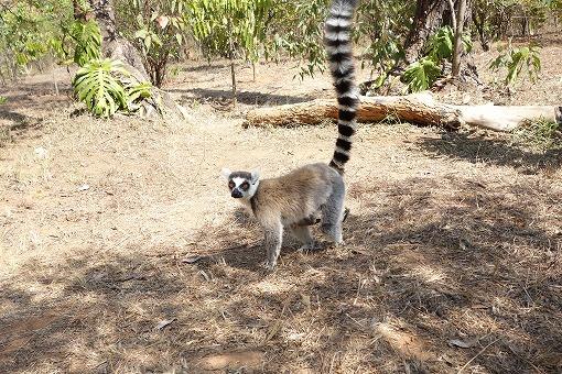 マダガスカルと言えばワオキツネザル