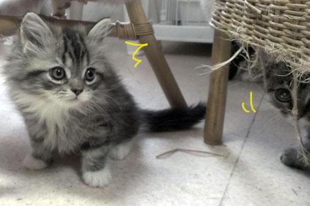 スコティッシュフォールドの子猫