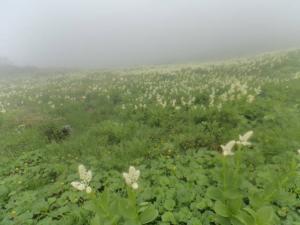 笠ヶ岳稜線コバイケソウ20130728