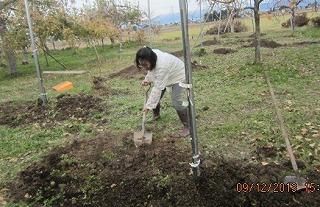 りんご定植