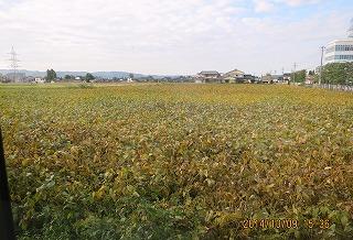 大豆収穫間近