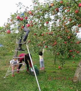 愛ちゃんリンゴ摘み
