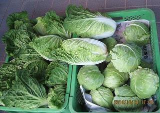 ミニ白菜収穫
