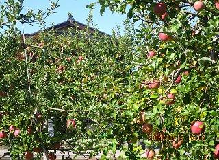 リンゴで隠れる