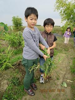 生姜の掘り取り