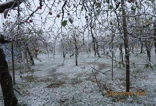 りんご園に初雪