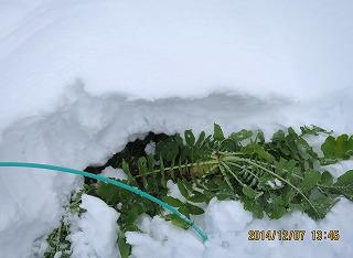 雪下の大根