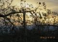 りんご園の夜明け