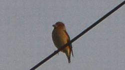 017電線小鳥