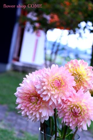 秋の花 ダリア ピンク