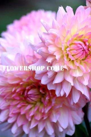 ダリア ピンク 秋の花