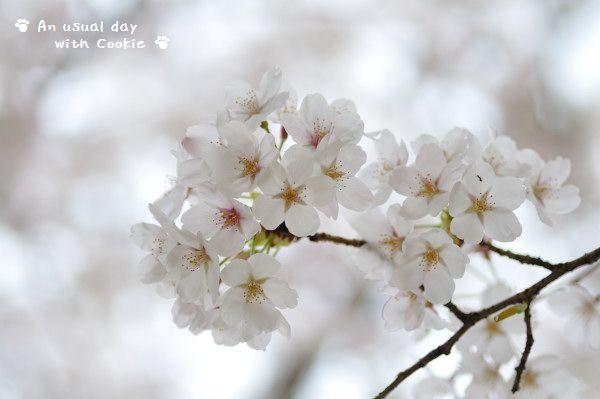 sakura_4255.jpg