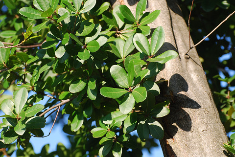 モッコクの葉と木肌