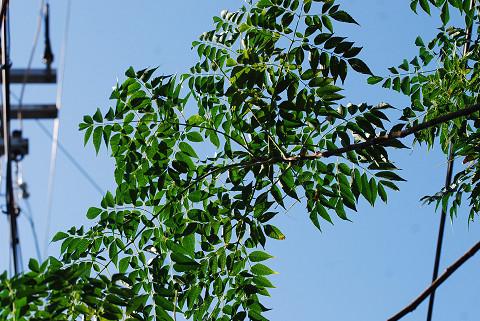 センダンの葉が独特