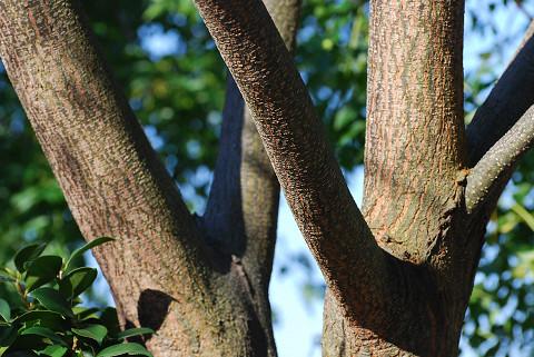 センダンの木肌がきれい