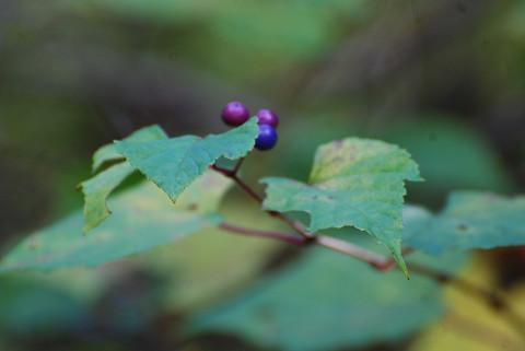 ノブドウの実がきれい