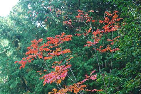 ヤマウルシの紅葉が