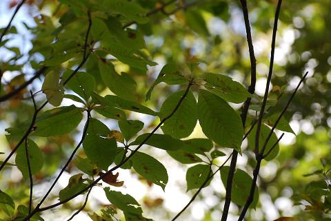 ヒメシャラの葉を