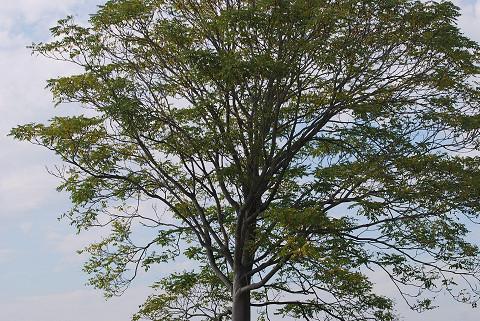 ニワウルシの孤立した木