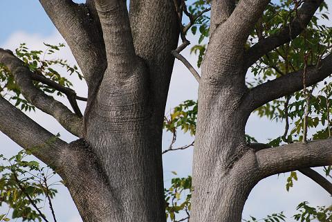 ニワウルシの木肌がきれい